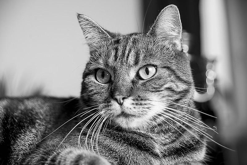 Katze als Porträt in Schwarz-Weiss mit gestreiften Fell